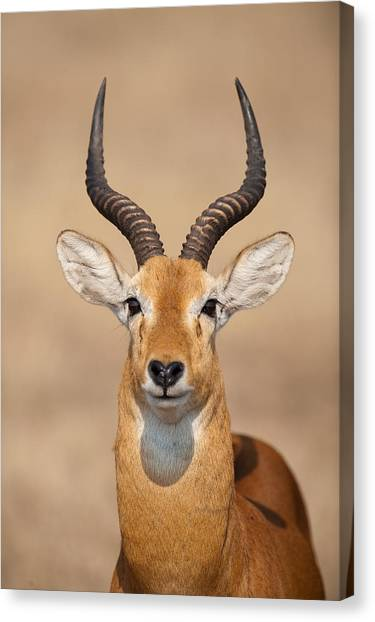 Queen Elizabeth Canvas Print - Close-up Of A Ugandan Kob Kobus Kob by Panoramic Images