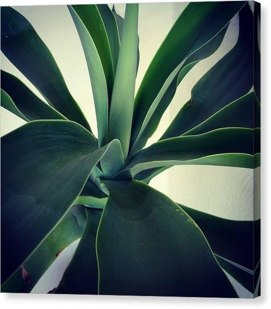 Close-up Of Agave Plant Canvas Print by Antonio Trogu / Eyeem