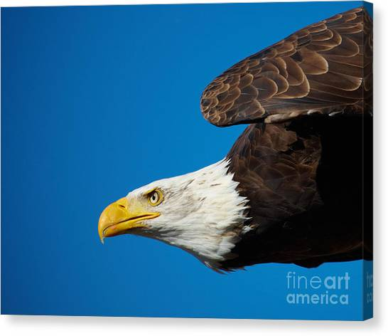 Close-up Of An American Bald Eagle In Flight Canvas Print