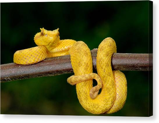 Poisonous Snakes Canvas Print - Close-up Of An Eyelash Viper by Panoramic Images