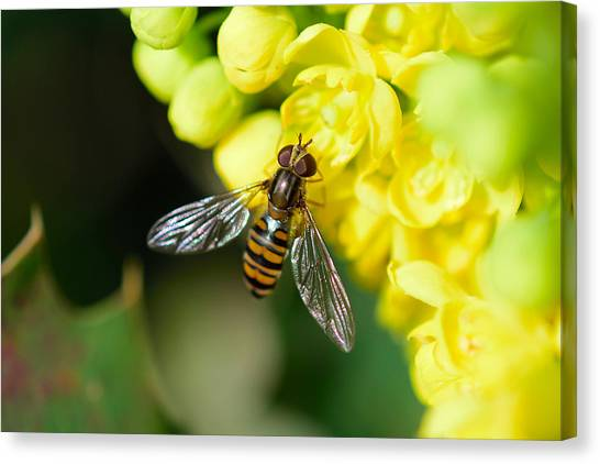 Close-up Of Bee Pollinating On Yellow Flower Canvas Print by Pete Vandal / EyeEm
