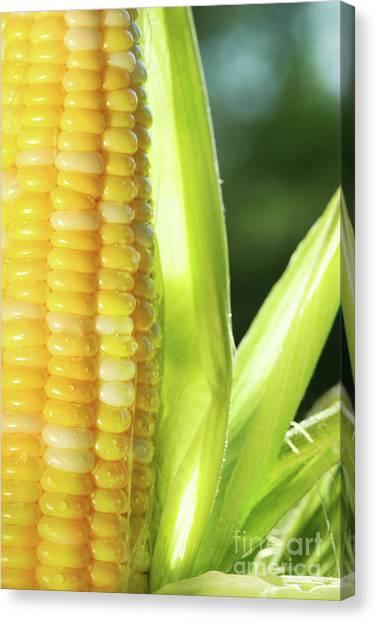 Corn Maze Canvas Print - Close-up Of Corn An Ear Of Corn  by Sandra Cunningham