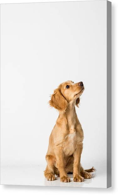 Close-up Of Dog Sitting Against White Background Canvas Print by Peter Rose / EyeEm