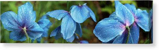 Canvas Print - Close-up Of Himalayan Poppy Flowers by Panoramic Images