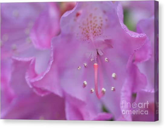 Close Up Of Inside Of Rhododendron Flower  Canvas Print by Dan Friend
