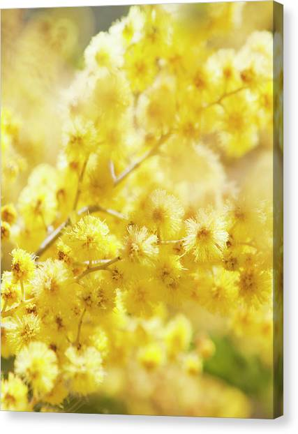 Mimosa Canvas Print - Close-up Of Mimosa Flowers by Johner Images
