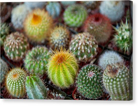 Succulent Canvas Print - Close-up Of Multi-colored Cacti by Panoramic Images