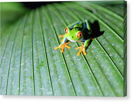 Close Up Of Red Eyed Tree Frog, Costa Canvas Print by Matteo Colombo