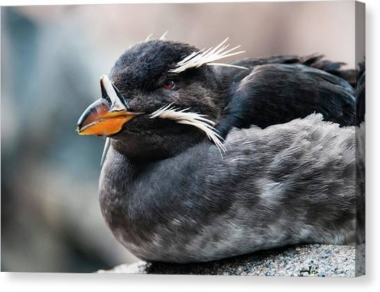 Auklets Canvas Print - Close-up Of Rhinoceros Auklet by Turner Forte