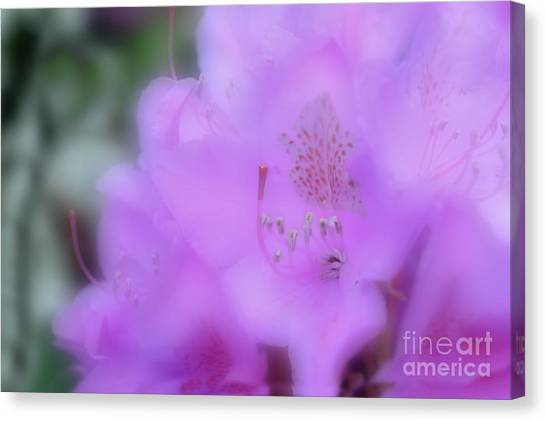 Close Up Of Rhododendron Flower Canvas Print by Dan Friend