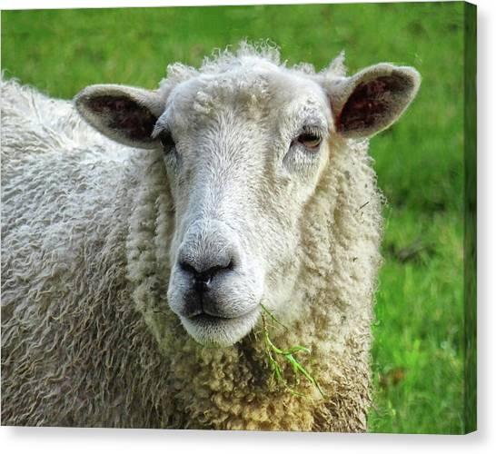 Close Up Of Sheep Canvas Print by Patricia Hamilton