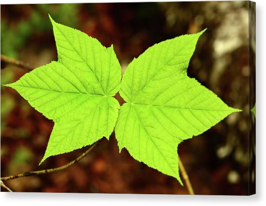 Canvas Print - Close Up Of The Paired Leaves by Darlyne A. Murawski