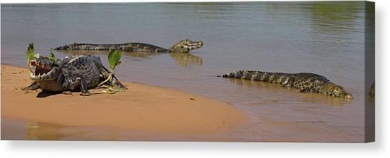 The Pantanal Canvas Print - Close-up Of Three Yacare Caiman Caiman by Panoramic Images