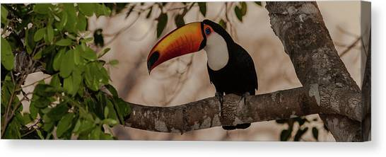 The Pantanal Canvas Print - Close-up Of Tocu Toucan Ramphastos Toco by Panoramic Images