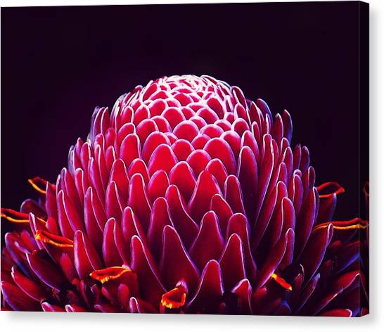 Close-up Of Torch Ginger Flower Against Canvas Print by Laura Plank / Eyeem