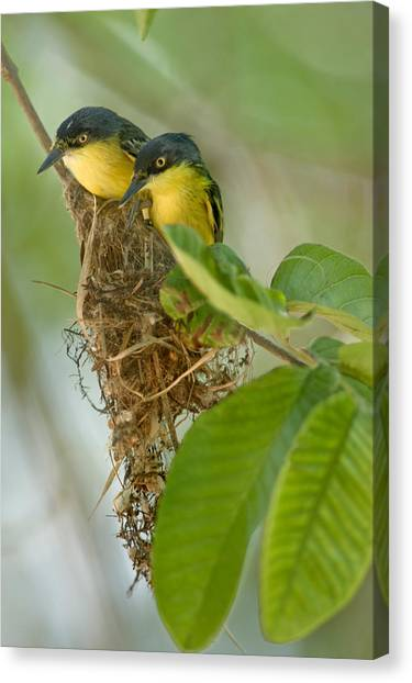 Flycatchers Canvas Print - Close-up Of Two Common Tody-flycatchers by Panoramic Images