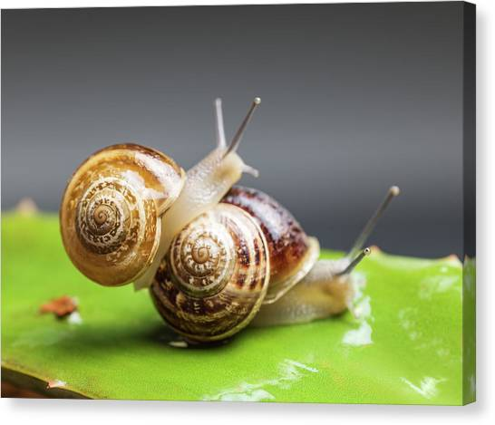 Close Up Of Two Snails Matting Canvas Print by Ozgur Donmaz