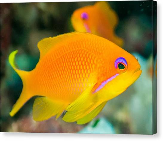 Close-up Of Yellow Fish Swimming Canvas Print by Oscar Robertsson / Eyeem