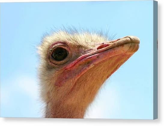 Ostriches Canvas Print - Close Up Portrait Of A Head Of An Ostrich by Photostock-israel/science Photo Library