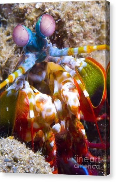 Kimbe Bay Canvas Print - Close-up View Of A Mantis Shrimp by Steve Jones