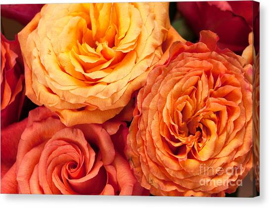 Close Up View Of Pink Orange Yellow Hybrid Tea Roses Canvas Print