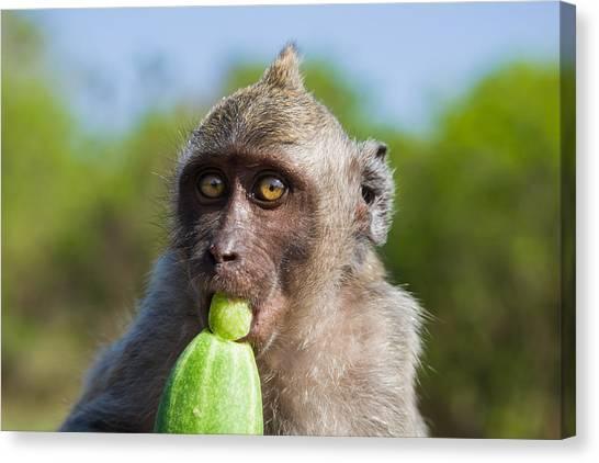Closeup Monkey Eating Cucumber Canvas Print
