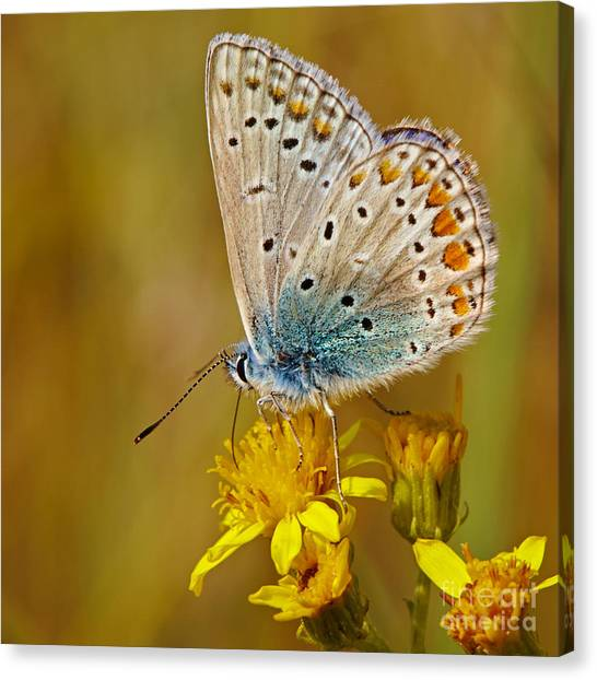 Closeup Of A Common Blue Butterfly Canvas Print