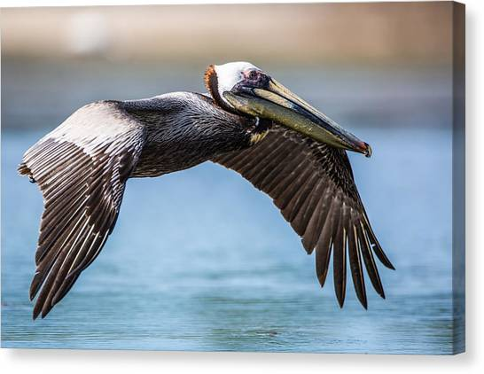 Closeup Of A Flying Brown Pelican Canvas Print