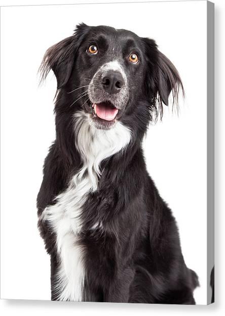 Border Collies Canvas Print - Closeup Of Border Collie Mix Breed Dog by Susan Schmitz