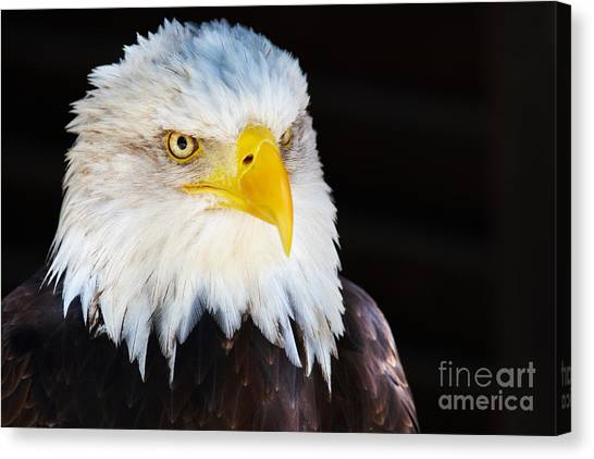 Closeup Portrait Of An American Bald Eagle Canvas Print
