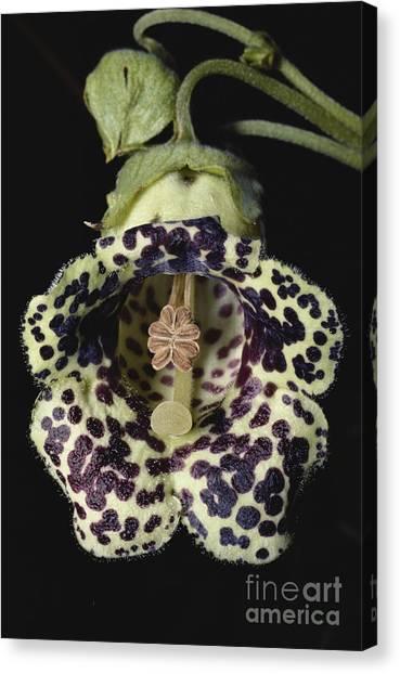 Monteverde Canvas Print - Cloud Forest Flower by Gregory G. Dimijian, M.D.