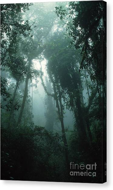 Mossy Forest Canvas Print - Cloud Forest by Gregory G. Dimijian, M.D.