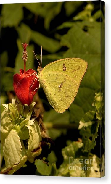 Sulfur Butterfly Canvas Print - Cloudless Sulfur Butterfly by Gregory G. Dimijian, M.D.