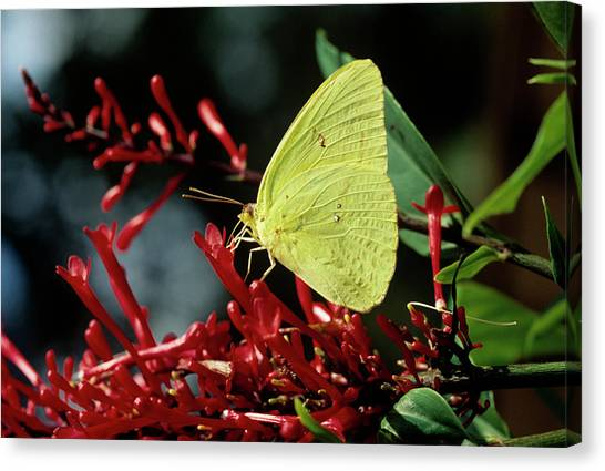 Sulfur Butterfly Canvas Print - Cloudless Sulphur Butterfly by Sally Mccrae Kuyper/science Photo Library