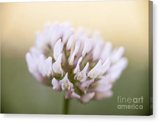 Clover Canvas Print - Clover Flower Closeup by Elena Elisseeva