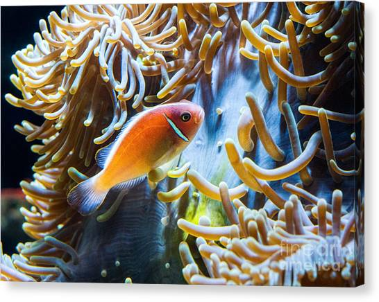Anemonefish Canvas Print - Clown Fish - Anemonefish Swimming Along A Large Anemone Amphiprion by Jamie Pham