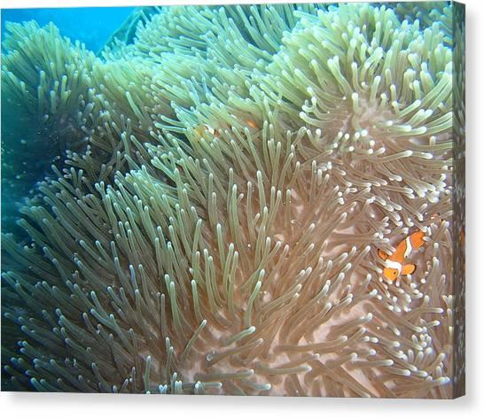 Scuba Diving Canvas Print - Clown-fish Hiding  by Andrew Scott