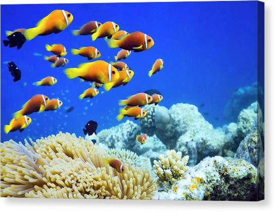 Clown Fish In Anemone Canvas Print by Cinoby