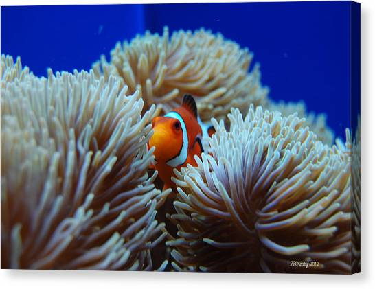 Clown fish in sea anemone photograph by susan stevens crosby for Susan s fish and chips