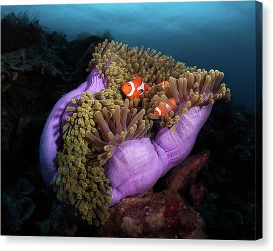 Fish Canvas Print - Clown Fish With Magnificent Anemone by Marco Fierli