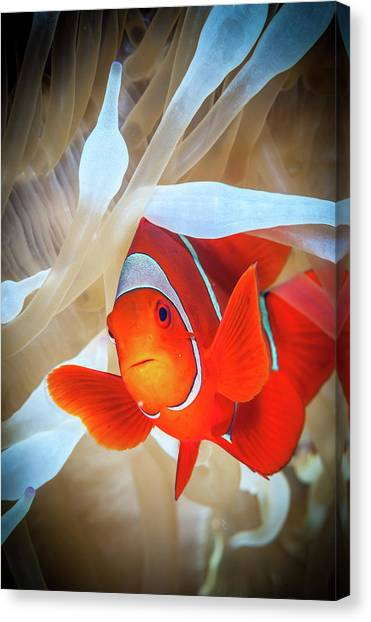 Kimbe Bay Canvas Print - Clownfish Defends His White Anemone by Jan Abadschieff