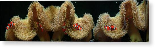 Clownfishes Canvas Print - Clownfish Swimming Underwater Near Coral by Panoramic Images