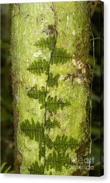 Amazon Rainforest Canvas Print - Clubmoss by William H. Mullins