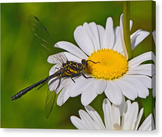 Clubtail Dragonfly On Oxeye Daisy Canvas Print