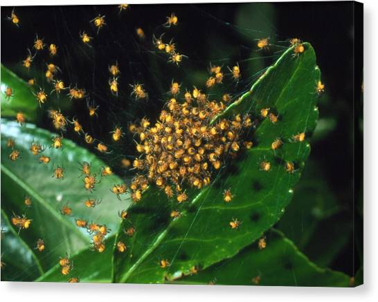 Spider Web Canvas Print - Cluster Of Spiderlings In Warning Colours On A Web by Adam Hart-davis/science Photo Library
