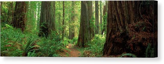 Redwood Forest Canvas Print - Coastal Sequoia Trees In Redwood Forest by Panoramic Images