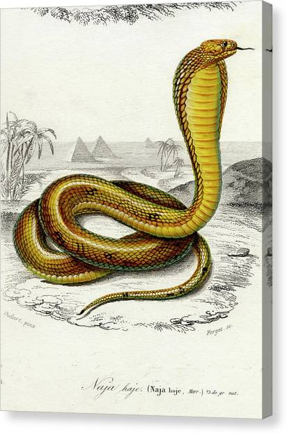 Poisonous Snakes Canvas Print - Cobra by Collection Abecasis