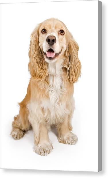 Cocker Spaniel Canvas Print - Cocker Spaniel Dog Isolated On White by Susan Schmitz
