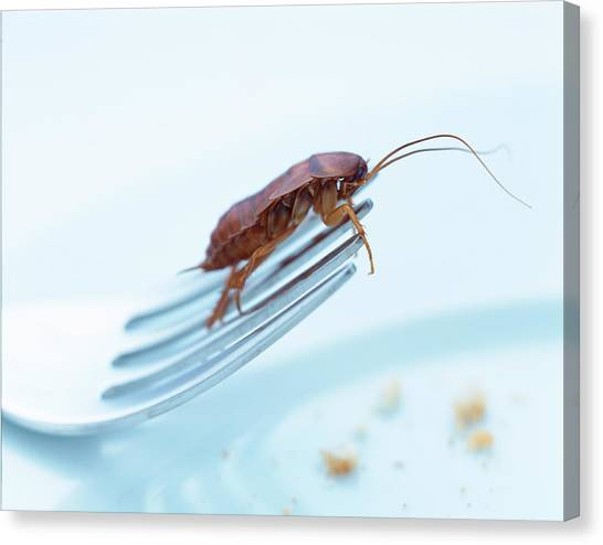 Pest Canvas Print - Cockroach On Fork by Gustoimages/science Photo Library