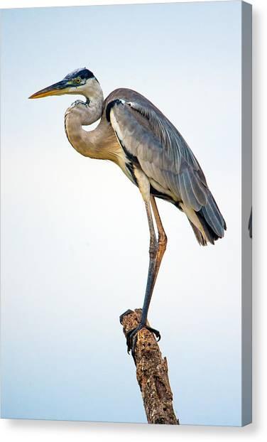 The Pantanal Canvas Print - Cocoi Heron Ardea Cocoi, Pantanal by Panoramic Images